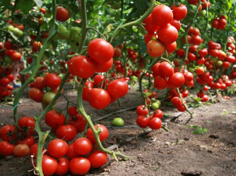 Помидоры «Колхозный урожайный»