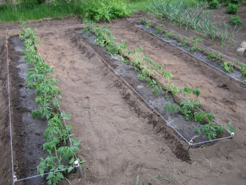 томат, колхозный, урожайный, описание, сорт