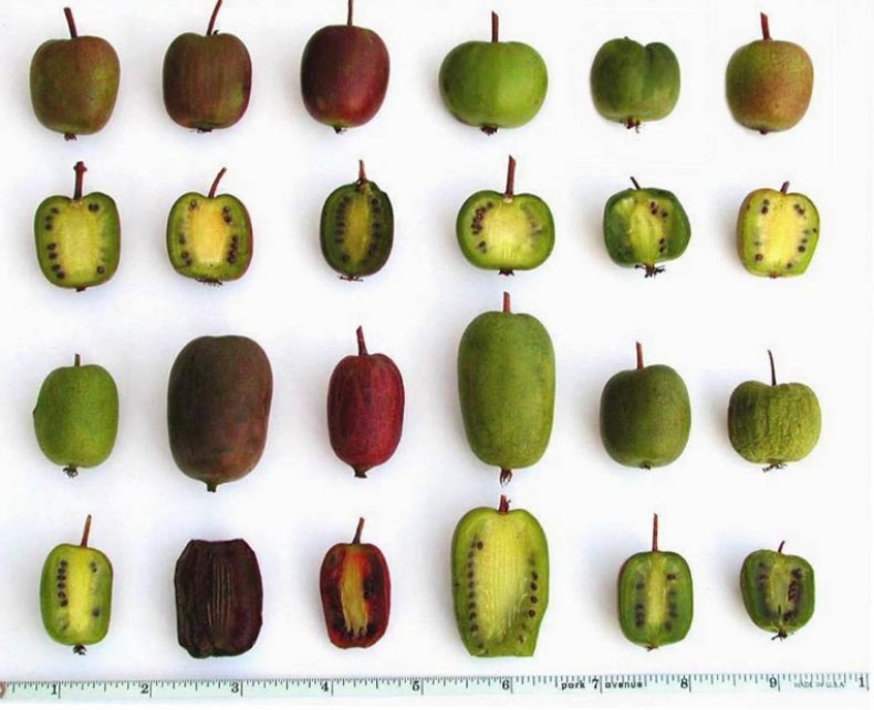 Разные сорта актинидий