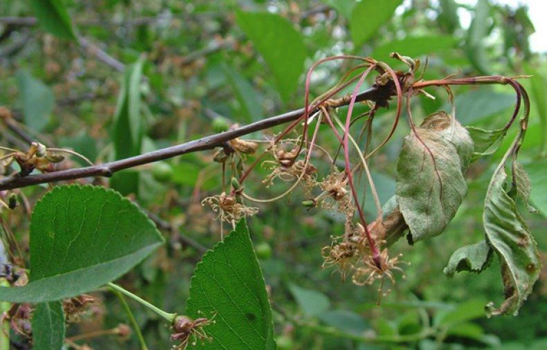 Монолез вишни