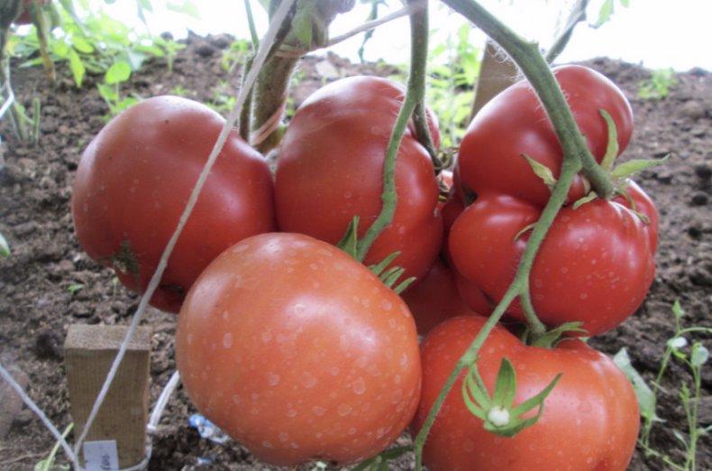 томат, бабушкин, описание, фото, сорт
