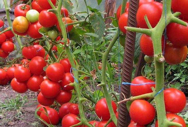 томат, пинк, уникум, описание, фото