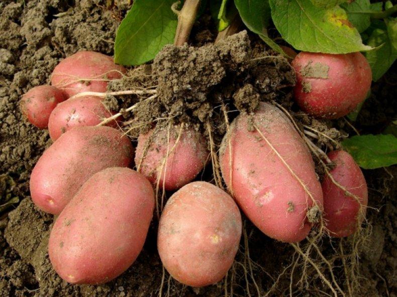 Клубень картошки