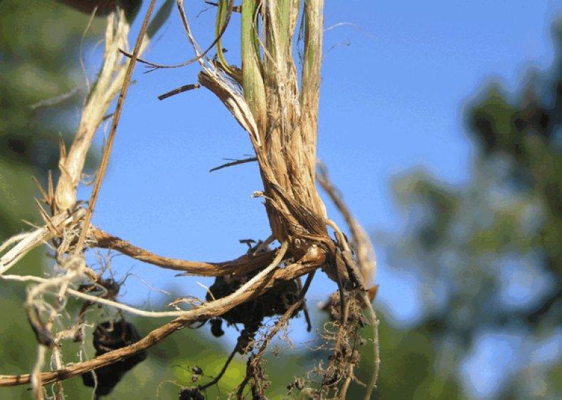 трава, осока, противопоказание, корневище осоки