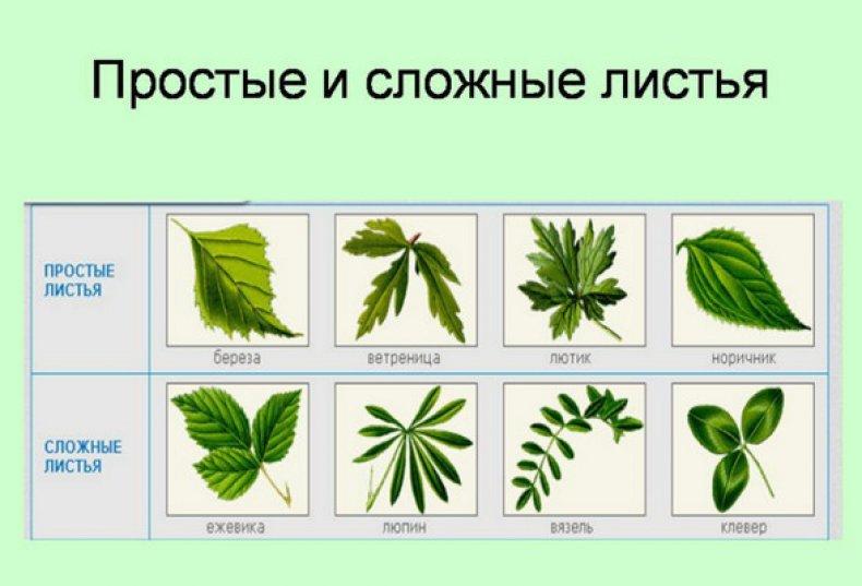 Внутреннее строение и основные типы листьев
