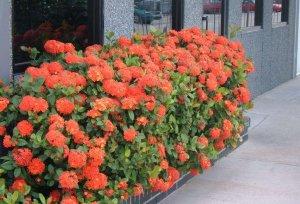 цветок, иксора, выращивание, домашний, выносить балкон, естественного освещения