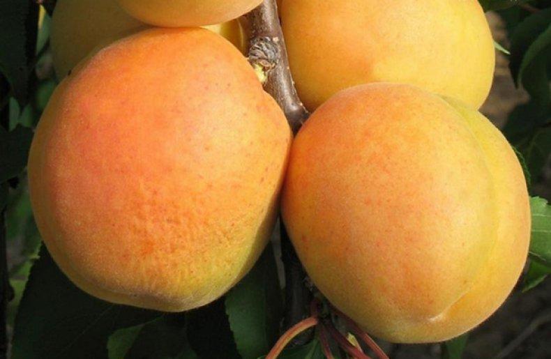 Абрикос сорта «Персиковый»