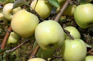 Антоновка лучше всего подходит для сушки яблок