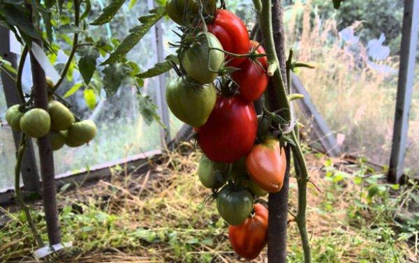 Томат мазарини (55 фото): характеристика и описание сорта, кто сажал помидоры, отзывы, видео