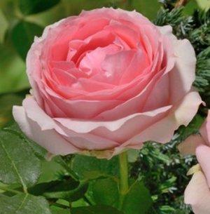 розы фото и название сортов