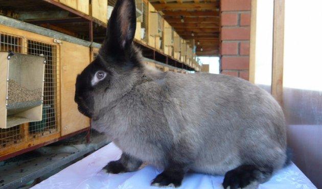 Разведение уход за кроликами в домашних условиях 8