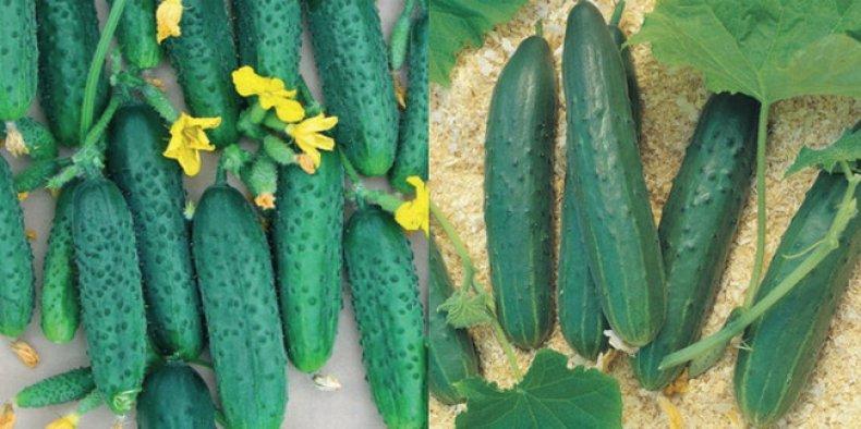 Летне-осенние сорта огурцов гибридов