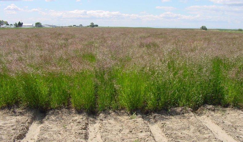 трава, костер, безостый, описание, фото