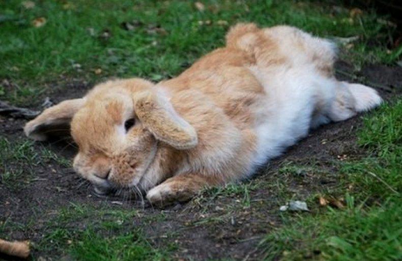 Перегрев кролика