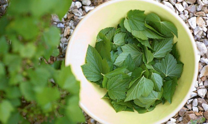 Собирать листья смородины
