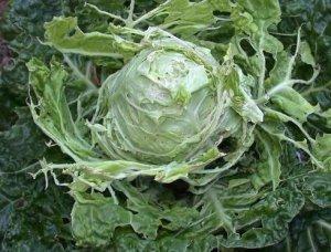 Вредители капусты
