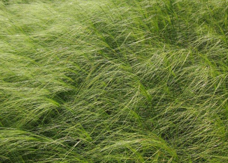 ковыль волосатый