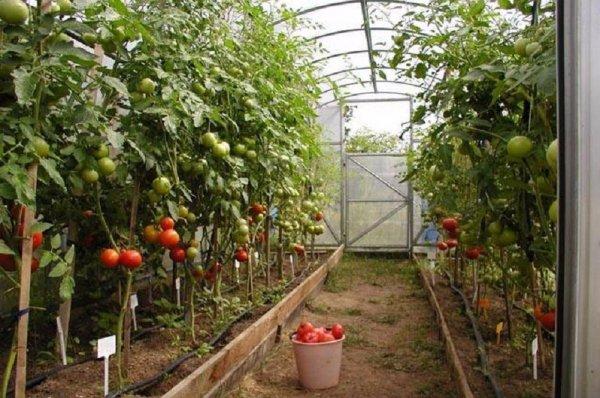 Правильный полив помидоров в теплице