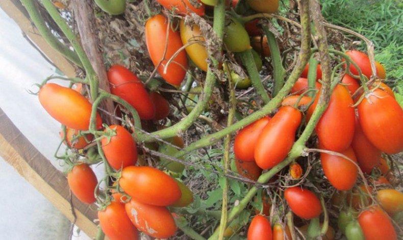 томат, ниагара, урожайность, описание