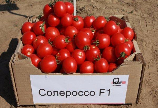 Томат Солероссо F1: описание и отзывы об урожайности сорта, видео и фото семян, характеристика помидоров