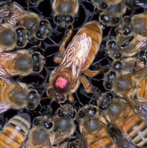 Размножение и развитие пчел видео — img 7