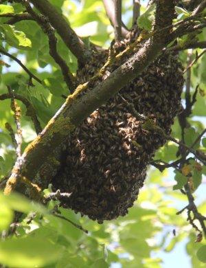 Картинки размножение и развитие пчел видео именем сидни