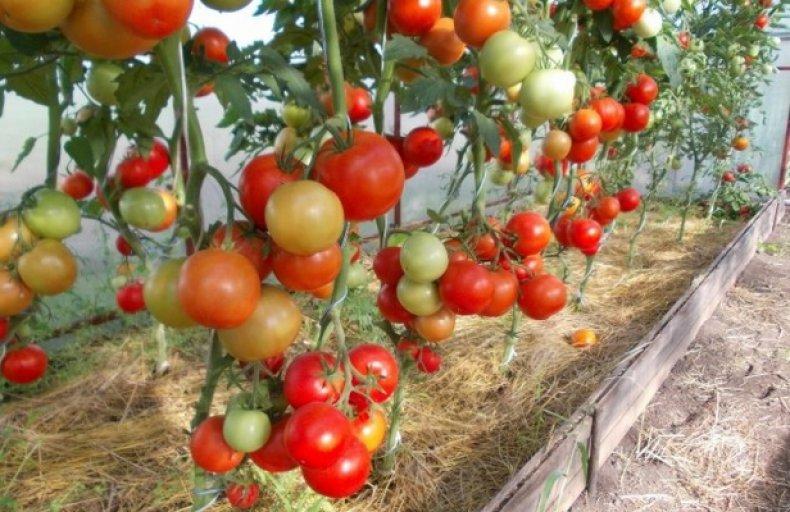 кладоспориоз, томат, бурый, оливковый, пятнистость, описание