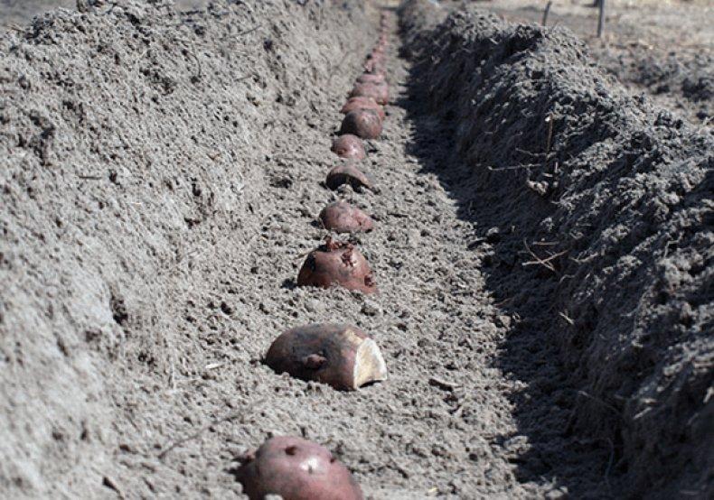 Траншейный способ посадки картофеля