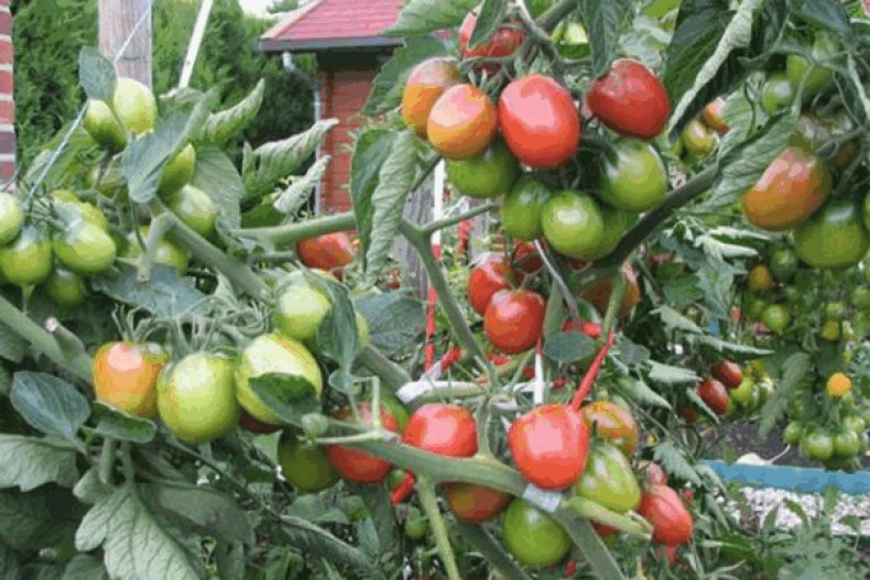 томат, мамочка, описание, фото, выращивание