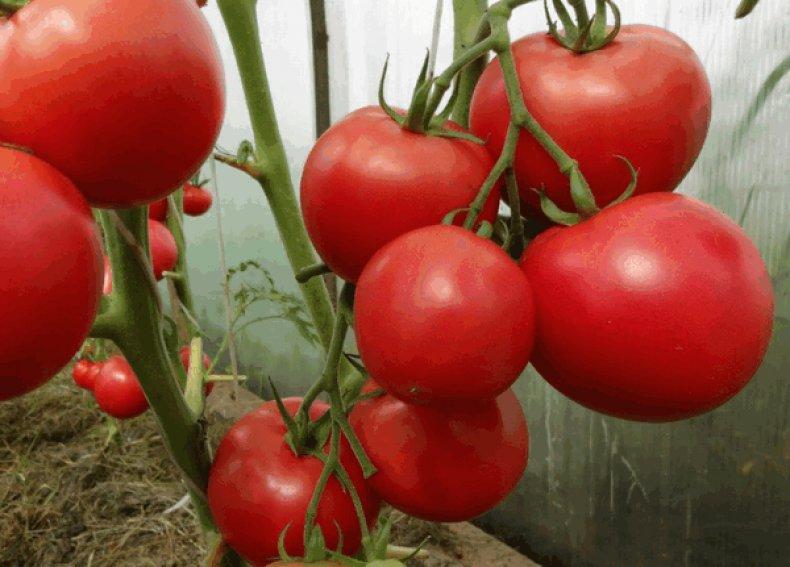 томат, сахарный, пудовичок, описание, сорт, фото