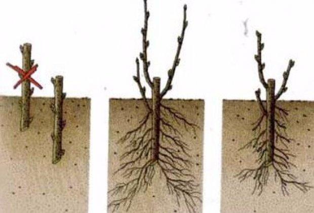 Какие деревья можно сажать черенками 3