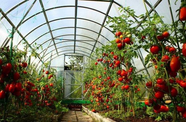 Подкормка помидор в теплице: какие удобрения и когда использовать