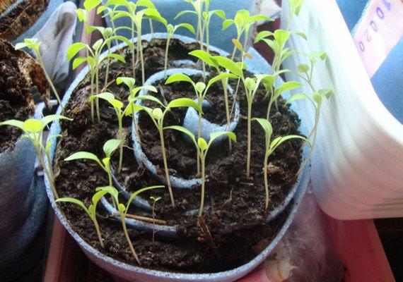 бархатцы выращивание из семян в туалетной бумаге