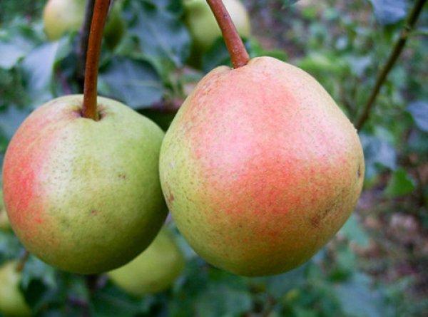 Груша Краснобокая: описание сорта, особенности ухода
