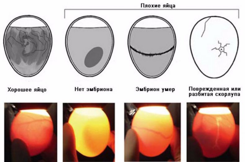 Проверка яиц на овоскопе