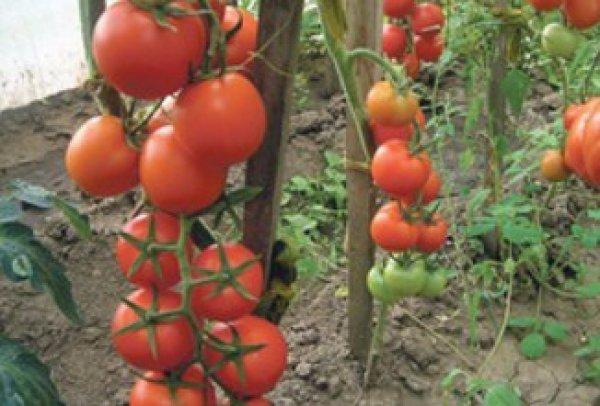 Колхозный урожайный устойчивый и высокопродуктивный