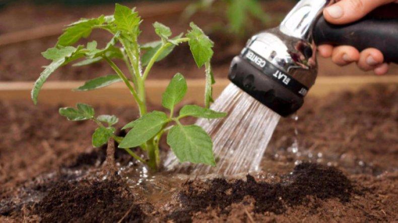томат, паленка, описание, фото, урожайность