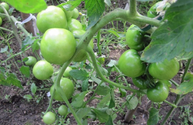 Детерминантный сорт помидор Катюша
