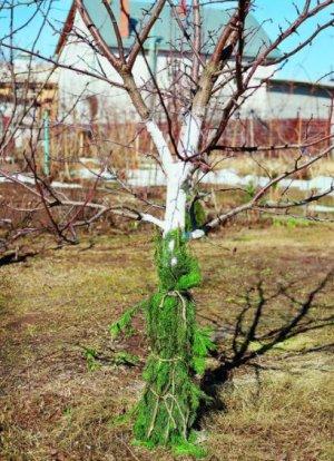 Защита дерева от грызунов лапником
