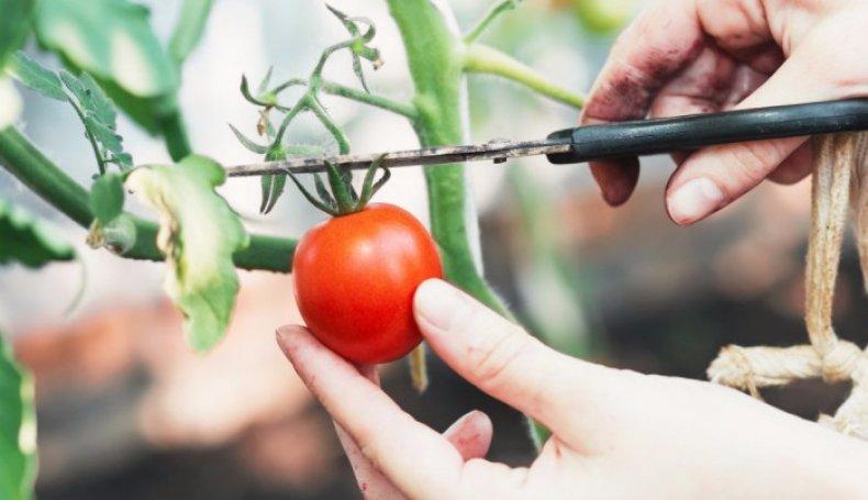 Правильно собрать семена томатов в домашних условиях