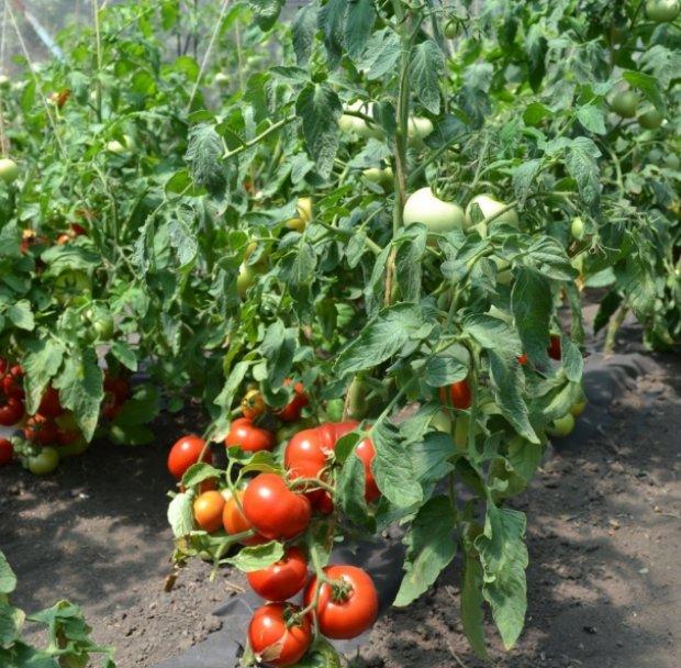 pomidori-slot-otzivi