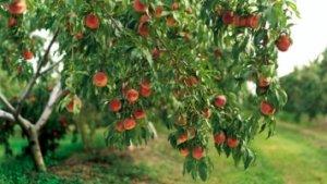 Лучше всего высаживать персик весной