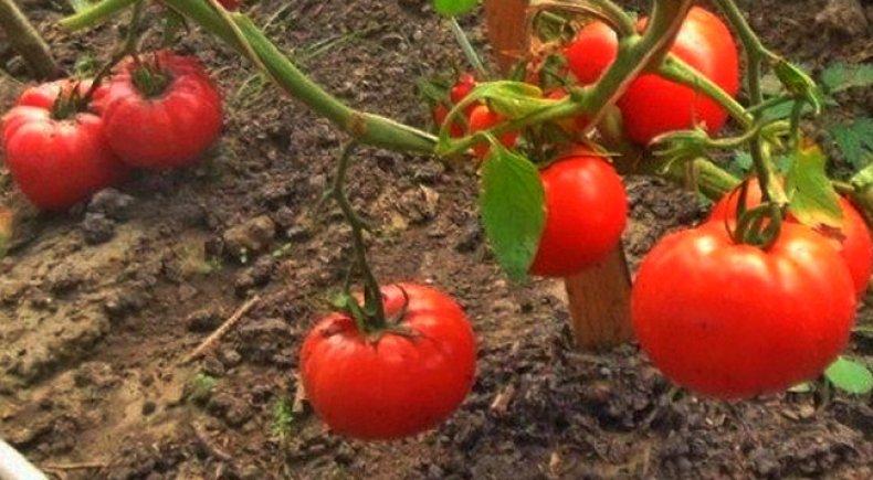 томат, супербомба, фото, описание