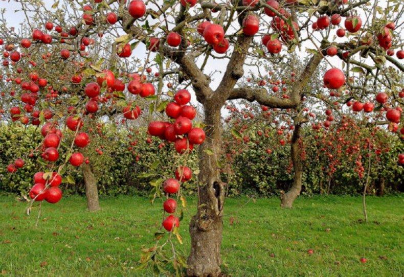 Карликовые деревья для сада