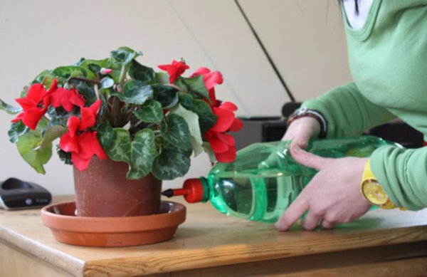 Как поливать цикламен в домашних условиях
