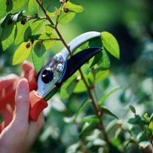 Обрезка спасает дерево от распространения болезней