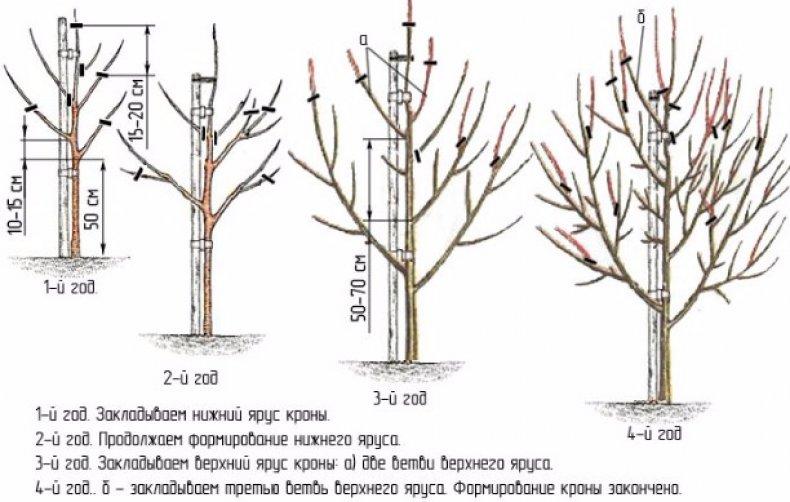 Формирование кроны молодого дерева