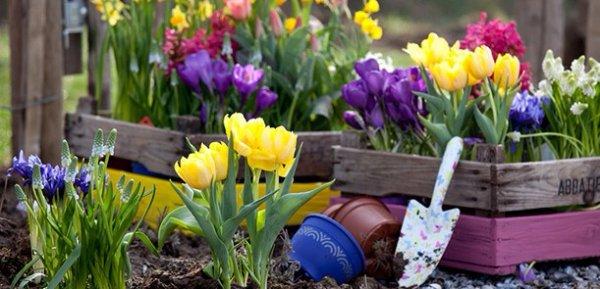 Когда выкапывать и сажать тюльпаны после цветения Уход за тюльпанами после цветения Пересадка и хранение луковиц