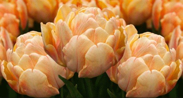 Основные виды <b>тюльпанов</b>, как классифицируют весенний цветок