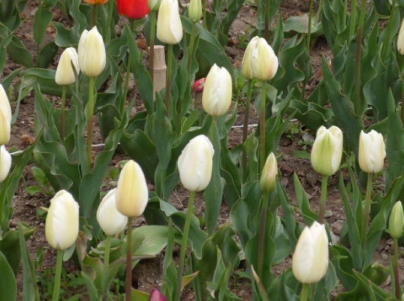 Тюльпан Catherina